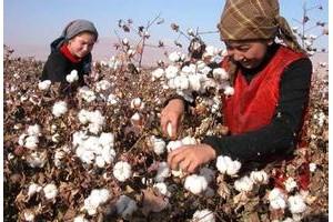 新疆棉现货不断降 纺企和贸易商买涨不买跌